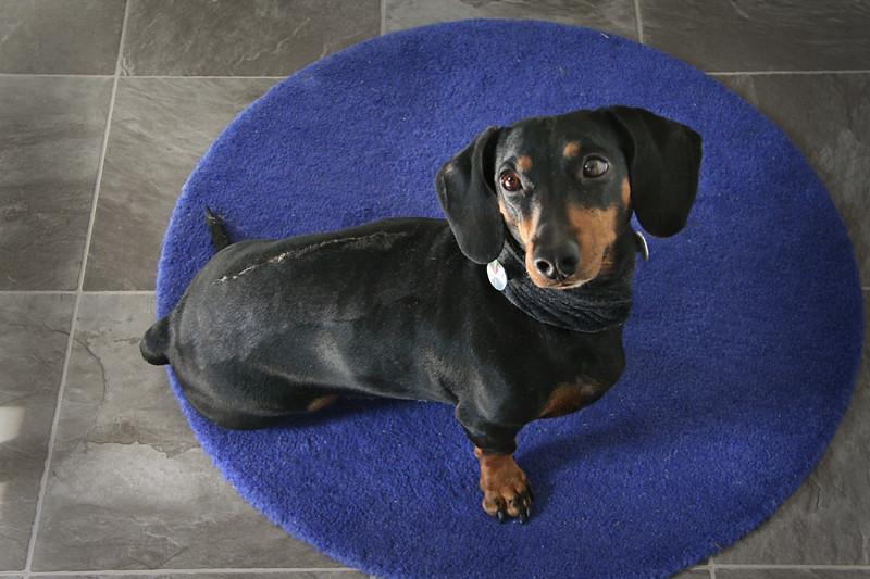 Franken-dog