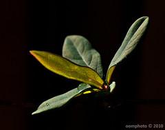 Honeysuckle... (Oomphoto - Nancy G. Villarroya) Tags: macro green water leaves blackbackground drops nikon waterdrops leafveins nikonnikkorafsvrmicro105f28gifed