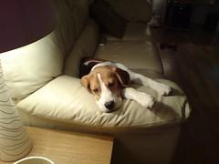 Takin it easy. (bertiebeagleboy) Tags: boy beagle big