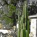 DHS Cactus (7407)