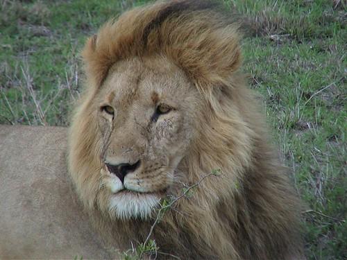 Mara Lion Closeup