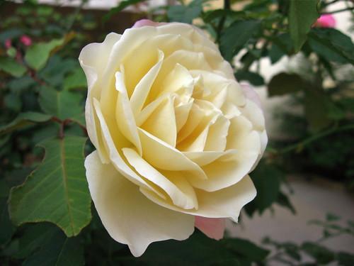 Rosa amarela por Alexandre Jorge.