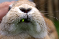 Mjum! (Sjaek) Tags: macro cute rabbit bunny closeup nose furry adorable fluffy whiskers pip