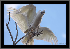 High Jinks in the park (Barbara J H) Tags: bird nature fauna wildlife parrot australianbirds australianwildlife corella littlecorella cacatuasanguinea birdsofaustralia australianfauna featheryfriday canoneos30d birdphotos wildlifeofaustralia barbarajh diamondclassphotographer faunaofaustralia
