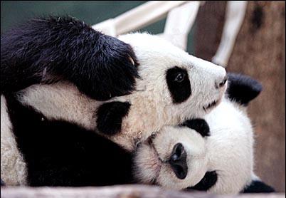 panda_snuggle2-1
