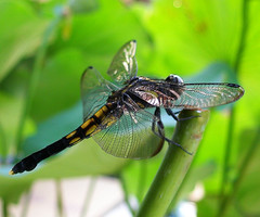 Dragonfly on a lotus stem - by tanakawho