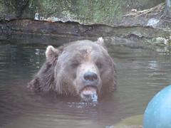 IMG_0186 (fogal) Tags: bear animal mammal zoo pittsburgh pittsburghzoo 2007 kodiakbear fogal