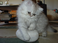 This is my stone (catherine.caf) Tags: cat persian kitten chat chaton persan
