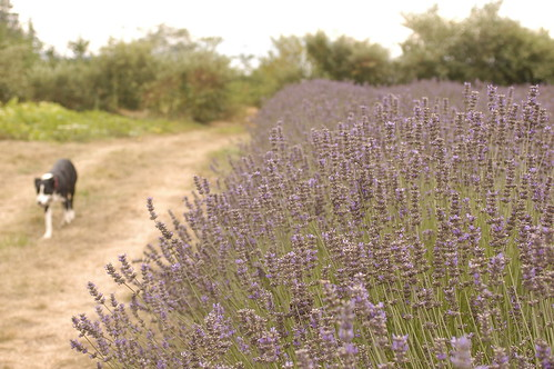 the island - lavender fields