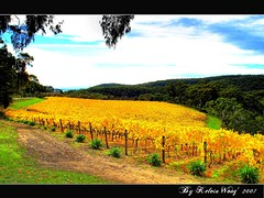 Golden Vineyard  (Kelvin Wong (Away)) Tags: autumn nature yellow season vineyard australia fourseasons adelaide southaustralia adelaidehills superaplus aplusphoto kelvinwong piscesromance thegoldenmermaid