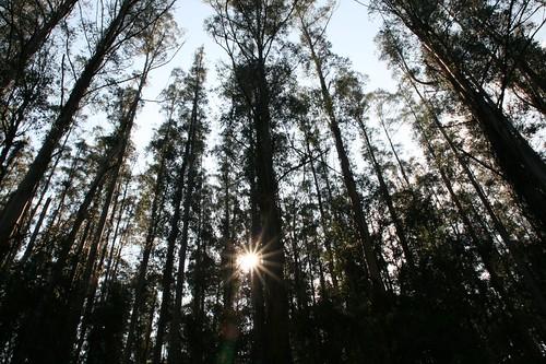 Warburton trees