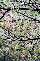 (hsalnat) Tags: china park flower nature garden nc wuxi   liyuan   peachflower