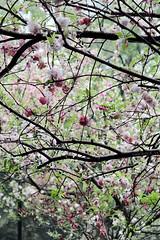 (hsalnat) Tags: china park flower nature garden nc wuxi   liyuan   peachflower