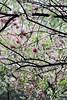蠡园里的桃花 (hsalnat) Tags: china park flower nature garden nc wuxi 中国 桃花 liyuan 无锡 西施 peachflower 蠡湖 蠡园 范蠡