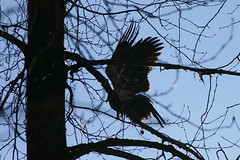 "Juvenile Bald Eagle tests its wings FRS • <a style=""font-size:0.8em;"" href=""http://www.flickr.com/photos/51193137@N08/4721906081/"" target=""_blank"">View on Flickr</a>"