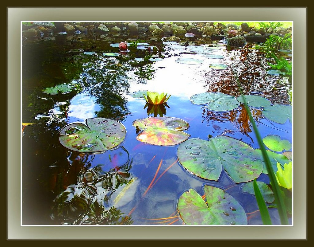 Pond Lily's in Bloom