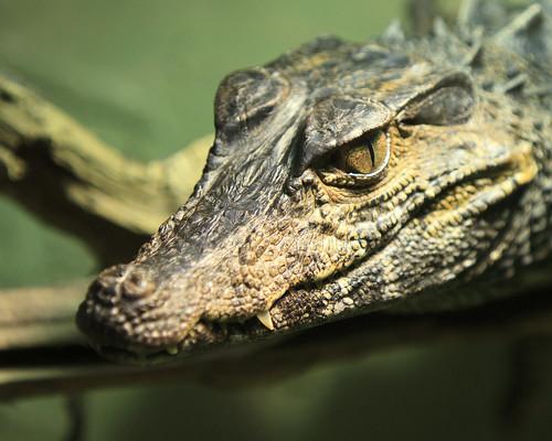 Reptilia - Cayman