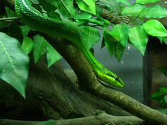 Green (Py All) Tags: green leave animal thailand zoo asia branch reptile snake bangkok wildlife vert asie serpent bkk feuille thailande branche dusit