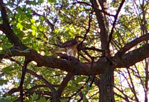 Hawk or Falcon in Prospect Park