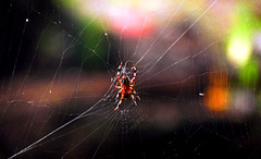 the waiting (bdaryle) Tags: nature spider bokeh web sony arachnid thewaiting brandondaryle bdaryle imagesbybrandon