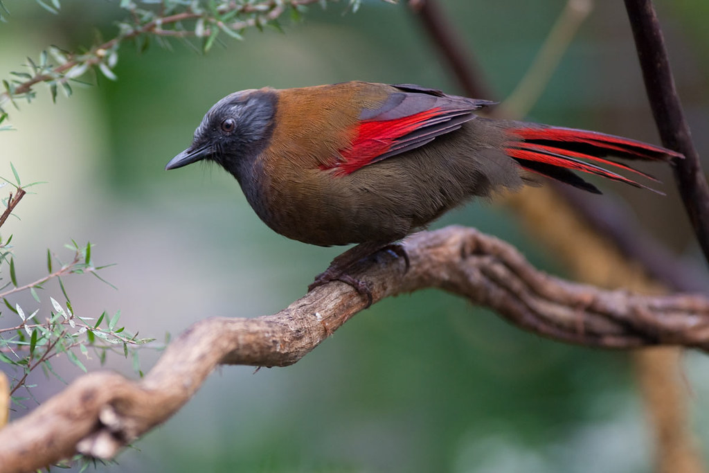 The World's Best Photos of redwingedlaughingthrush - Flickr