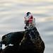 Muscovy Ducks at Moss Lake