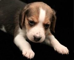 Puppy (Fla.Rose) Tags: beagle dogs puppies