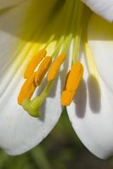 Pollen stems
