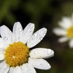 A Splash of Colour (Nigel Dourley) Tags: flower macro wet water rain closeup canon petals sigma daisy 1770mm 400d diamondclassphotographer flickrdiamond superhearts