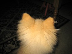 IMG_1216A (kelaltieri) Tags: bear dog home canon puppy head nj pomeranian poof mahwah
