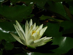 WATER LILY ... (ruthalice43) Tags: summer flower nature water waterlily goldfishpond ruthalice43