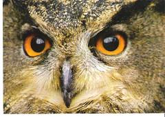 Tyto Alba-Owl