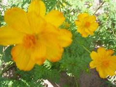 flores 11 nilgazzola (nilgazzola) Tags: flores de foto ou com tirada maquina nilgazzola