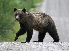 Grizzly_5222 - by ru_24_real