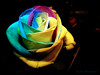 Rosa Colorida (Jorge L. Gazzano) Tags: flowers flores flower rose flor rosa rosas holambra colourartaward
