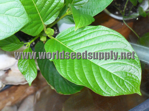 Kratom  Kratom fat leaf picture photo bild