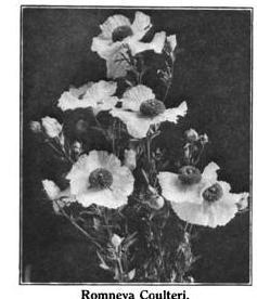 Matilija Poppy from Gardening in California 1914