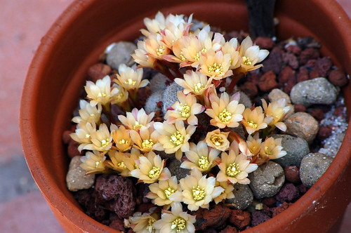 Rebutia sunrise
