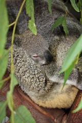 Magnetic Island: That's Hella Cray Cray (CazzMatt) Tags: bear baby birds island coast australia east koala snakes lizards parrots lorikeets magnetic reptilians