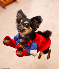 Super dog in flight (Pawsome33) Tags: canada halloween superman buster superdog chion dogincostume papihuahua chiapap