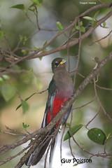 Trogon narina - Lake Langano Éthiopie (oiseauxgp) Tags: narinatrogon apalodermanarina éthiopie lakelangano trogonnarina