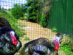 Two turkeys, Upper Schuylkill Valley Park