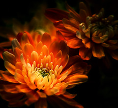 The darkside of Beauty (mikem1115) Tags: searchthebest quality magical coolest allstar breathtaking excellence top50 naturesfinest outofthedark flowerotica instantfav beautifulcapture abigfave amazingshots superbmasterpiece jeannysfoto frhwofavs jalalspages onlythebestare grousss colourartaward fiveflickrfavs excapture superbloom