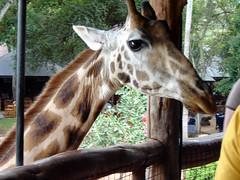 Giraffe Center 21