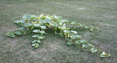 Pumpkin Plant Vines