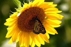 Buffet In The Sun (mightyquinninwky) Tags: flowers summer orange brown sunlight black green nature field yellow 30 rural butterfly geotagged 10 farmland southernindiana 25 sunflowers monarch 20 breathtaking bypass outpost ohiorivervalley evansvillein 25faves ohiorivercity superhearts excellentphotographerawards heartawards natureoutpost i164south geo:lat=38056155 geo:lon=87475784 excellentsflowers