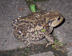 Common Toad in Russia Dock Woodland