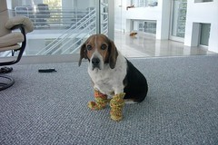 Mr. Puffy wearing Socks (MrPuffy) Tags: dog pets beagle socks knitting hound handknit sundara yarns