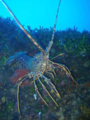 img200706120722rx2.jpg (coismarbella) Tags: mergulho dive scuba diving buceo submarinismo tauchen columbretes plonge crustaceos