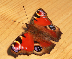 "Peacock Butterfly (inachis io)(15) • <a style=""font-size:0.8em;"" href=""http://www.flickr.com/photos/57024565@N00/973895462/"" target=""_blank"">View on Flickr</a>"